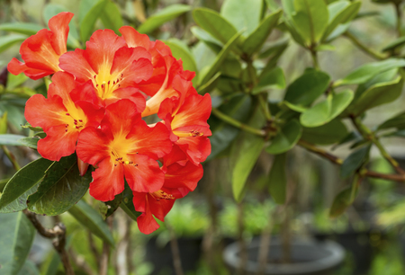 ericaceae: Primo piano di rosso giallo Rhododendron fiore in primavera (Ericaceae) Archivio Fotografico