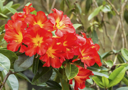 ericaceae: Close up of bright Red yellow Rhododendron flower in spring time (Ericaceae) Archivio Fotografico