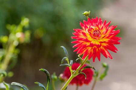 compositae: Beautiful of orange Garden Dahlia flower blossom in the park (Dahlia hybrid, Compositae)