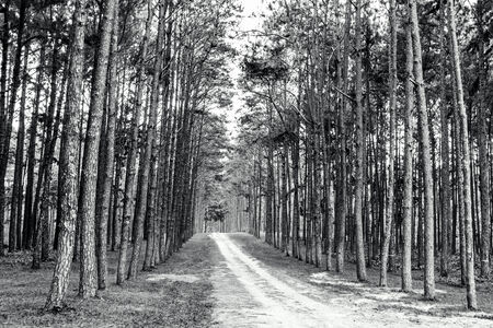 sideway: Rural road with pine tree pattern on sideway in the park
