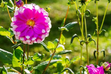 compositae: Beautiful of pink white Garden Dahlia flower blossom in the park (Dahlia hybrid, Compositae)