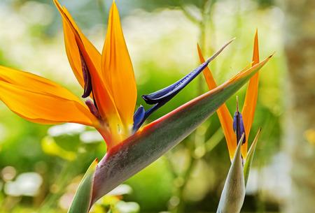ave del paraiso: Colorido del p�jaro de la flor de para�so de flores en el jard�n bot�nico