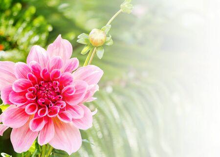 compositae: Beautiful of pink Garden Dahlia flower blossom in the park (Dahlia hybrid, Compositae)