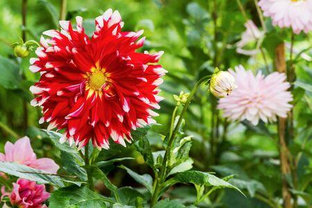 compositae: Beautiful of red Garden Dahlia flower blossom in the park (Dahlia hybrid, Compositae)