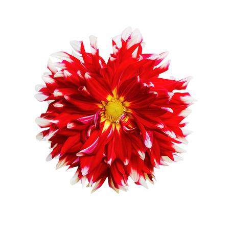 compositae: Beautiful of red Garden Dahlia flower blossom isolated on white background (Dahlia hybrid, Compositae)