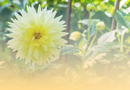 compositae: Beautiful of yellow Garden Dahlia flower blossom in the park (Dahlia hybrid, Compositae)