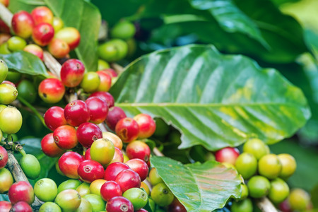 Arabica coffee berries getting ripe on its tree in farm photo