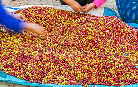 arabica: Pile of red Arabica coffee berries on farm and size selection Stock Photo