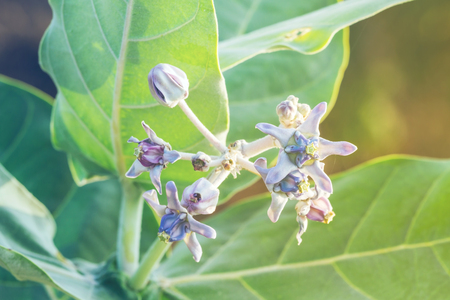 gigantea: Purple Calotropis Gigantea flowers or Crown flowers blooming in the morning sunlight Stock Photo