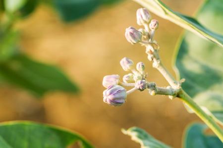 gigantea: Purple Calotropis Gigantea flowers or Crown flowers blooming in the morning sunlight Stock Photo