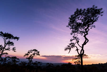 Pine trees in silhouette at sunset growing on a hillside photo