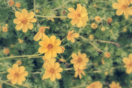 golden daisy: Top view of yellow flowers of Dahlberg Daisy or Golden Fleece in springtime - Vintage effect style pictures Stock Photo