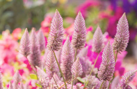 joey: Close up of pink ptilotus exaltatus joey flowers - Soft color filter style pictures Stock Photo