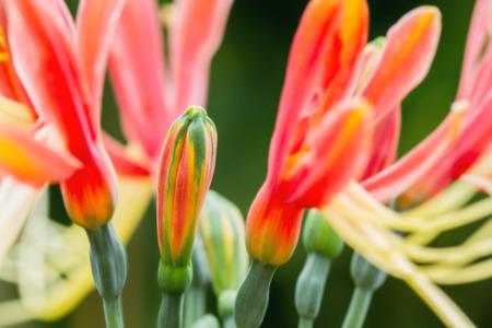 hippeastrum flower: Macro of Hippeastrum cybister hybrid blossom in flower garden