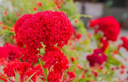 cockscomb: Close up of red color Cockscomb blossom in flower garden Stock Photo