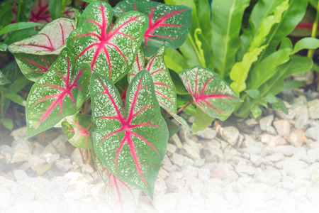 leaved: Fancy Leaved Caladium growth in flower garden - Color filter effect style pictures