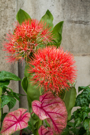 red sphere: Red sphere flower fireball lily or scadoxus multiflorus blossom in courtyard