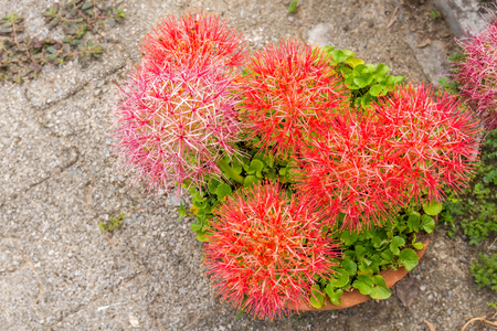 red sphere: Group of red sphere flower fireball lily or scadoxus multiflorus blossom in courtyard