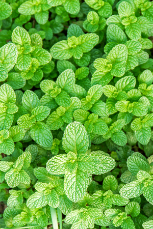 minty: Close up of fresh mint growing in the vegetable garden, top view