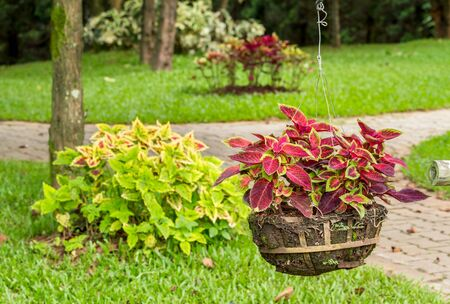 Close up of colorful coleus plant growth in flower pot hanging in garden