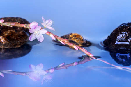 reflection of life: Still life with macro of pink Vietnamese coriander flowers with stones reflection
