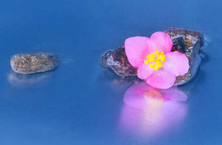 reflection of life: Still life with macro of pink begonia lucernae flower with stones reflection