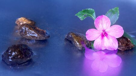 black stones: Still life with macro of pink impatiens walleriana flower with stones reflection