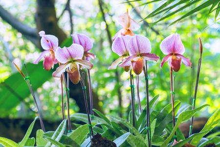 Group of purple pink lady slipper orchid blossom in flower garden group of purple pink lady slipper orchid blossom in flower garden stock photo 55100456 mightylinksfo