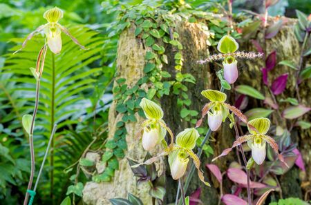 lady slipper: Group of green purple color lady slipper orchid blossom in flower garden