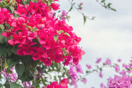magenta decor: Close up of red Bougainvillea or paper flowers blossom on cloud sky Stock Photo