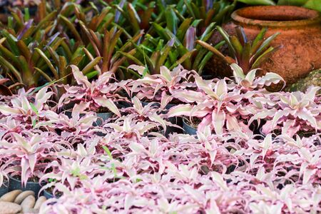 cryptanthus: Hybrid of colorful bromeliad plants in beautiful garden