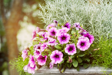 Close up of purple petunia flowers blossom in flower pot in garden
