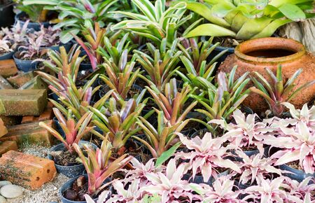Hybrid of colorful bromeliad plants in beautiful garden