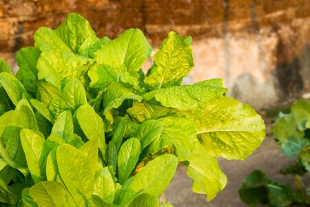 mustard leaf: Close up of fresh Chinese mustard or leaf mustard growth in vegetable garden