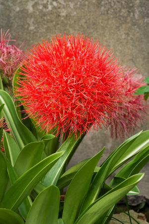 fireball: Close up of African blood lily or fireball lily blossom in ornamental garden