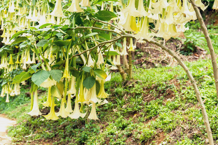 Many white brugmansia named angels trumpet or Datura flower blossom in summer time Stock Photo