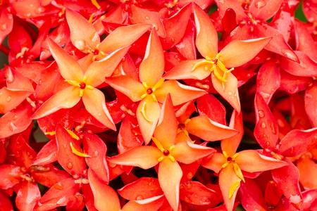 Macro of red ixora flower blossom in flower garden Stock Photo