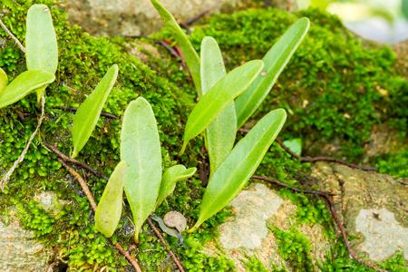 Macro of fresh fern Pyrrosia piloselloides growing on tree trunk