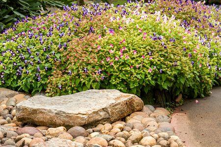 Group of Torenia fournieri or Wishbone flower blossom in garden