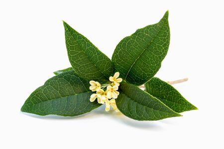 흰색 배경에 달콤한 osmanthus 또는 달콤한 올리브 꽃 꽃다발 스톡 콘텐츠