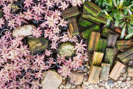 Top view of pink Cryptanthus bivittatus plant in ornamental garden Stock Photo