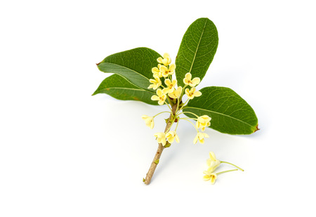 Bouquet of Sweet osmanthus or Sweet olive flowers blossom on white background