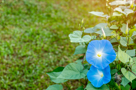 Close up of blue morning glory flowers blossom in ornamental garden