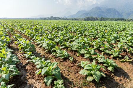 Tabac vert poussant dans le champ avec des nuages ciel bleu et fond de montagne