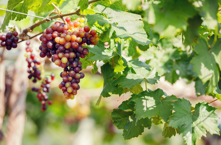 Ripe grapes hanging on vine ready to be harvested at vineyard