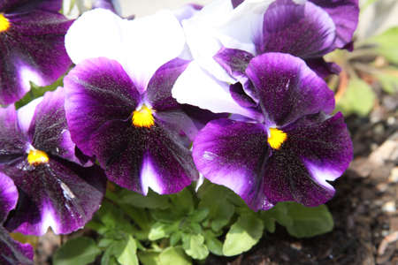 Pollen covered pansies
