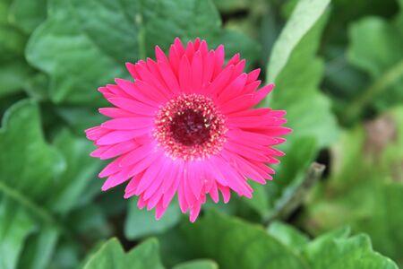 Gerber daisy Stock fotó