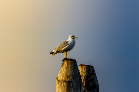 woden: Yellow-legged gull on woden dock Stock Photo