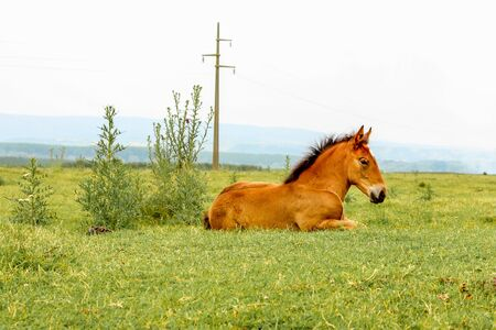 lieing: Beautiful brown foal lieing on meadow Stock Photo