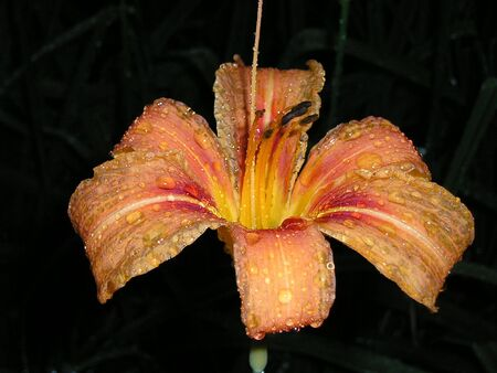 orange lily with drops of rain on its petals